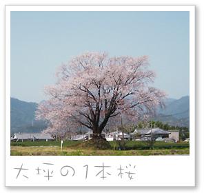 大坪の1本桜