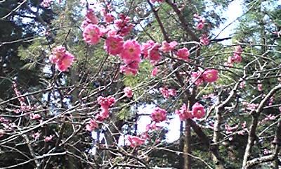 華奢に咲く梅の花
