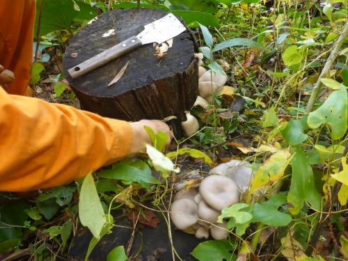庭に作っているエノキの原木に出来たヒラタケ