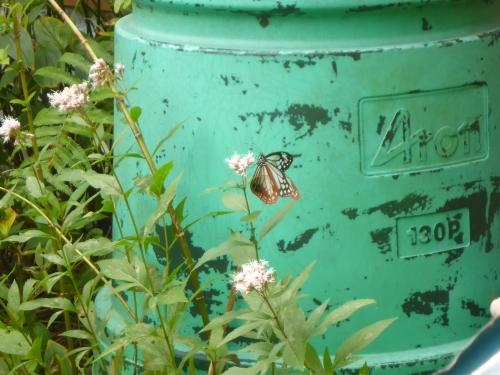 庭に飛んできた「アサギマダラ」