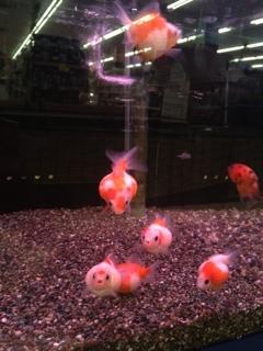 ピンポン金魚
