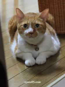 茶白猫 茶トラ ちゃだぞう