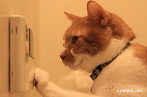 茶白猫 茶虎猫