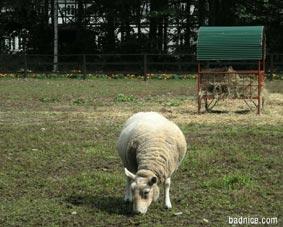 エンドルフィンの羊白