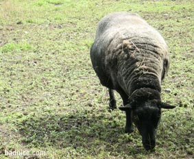 エンドルフィンの羊黒