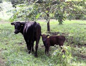 記念館脇の牛