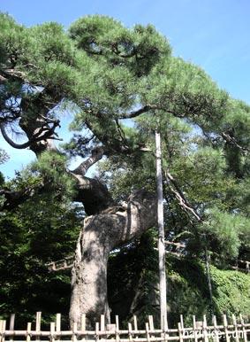 弘前城の黒松