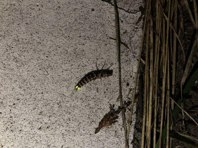アキマドボタル(幼虫)
