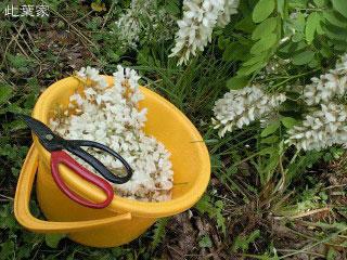 アカシアの花の収穫?