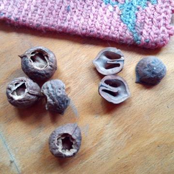 雪融けで出てきた胡桃の殻