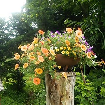 庭の切り株の植えに設置した鉢がやっと思い通りに咲きました。