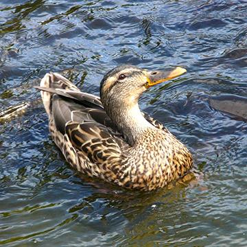 札幌・芸術の森の、お池にいた鴨ちゃん