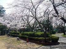 満開のソメイヨシノ(桜谷公園にて)