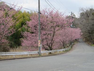 修禅寺寒桜tags[静岡県]