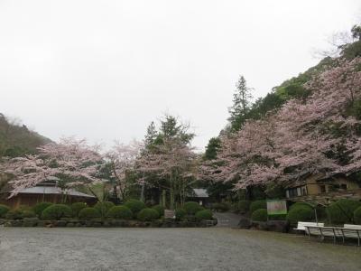 修善寺の桜が見ごろです!tags[静岡県]