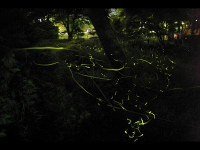 修善寺温泉「ほたるの夕べ」tags[静岡県]
