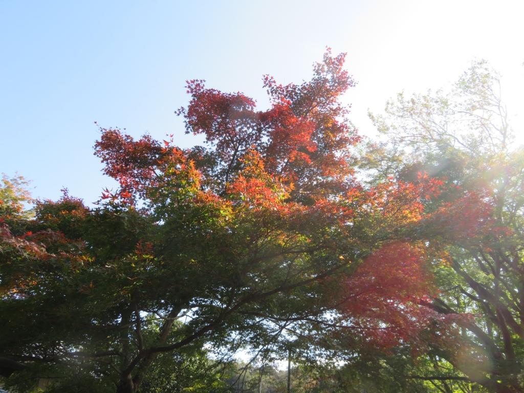 修善寺自然公園もみじ林紅葉状況