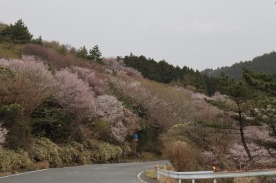だるま山の豆桜 & 今後のブログのお知らせ...
