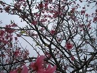 沖縄の桜です!沖縄は1月ですでに花見シーズン到来!