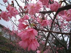 沖縄の桜2
