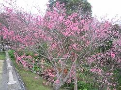 沖縄では桜満開!