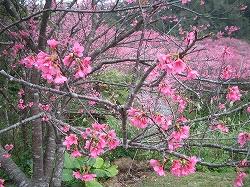 沖縄の桜4