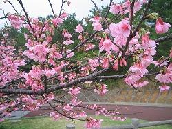 沖縄の桜6