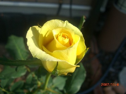 正統派の黄色い薔薇。