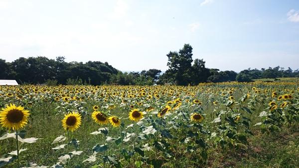 豊後高田市・長崎鼻の140万本のヒマワリ!見ごろも終盤のようで今週末までかなぁ。秋にはコスモス咲きます♡