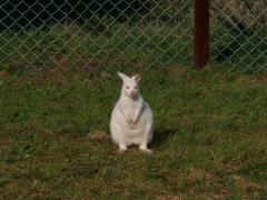 白カンガルー