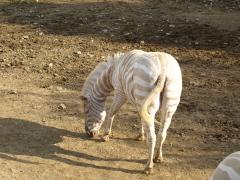 白シマウマ