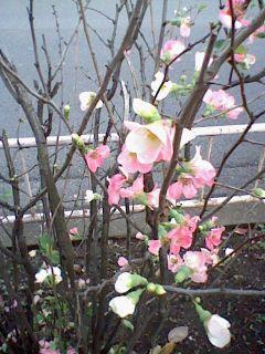 季節外れのボケの花