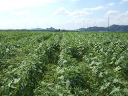 ひまわり畑�