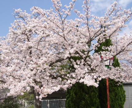 古城山桜開花情報