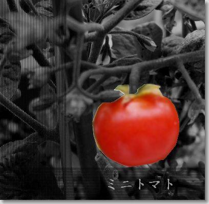ミニトマト加工