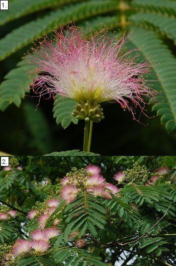 ネムノキの真っ赤な花