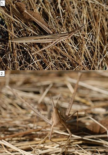 ショウリョウバッタ褐色型