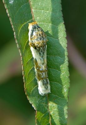 アゲハチョウ4齢幼虫とカラスザンショウ