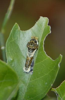 アゲハチョウの終齢幼虫