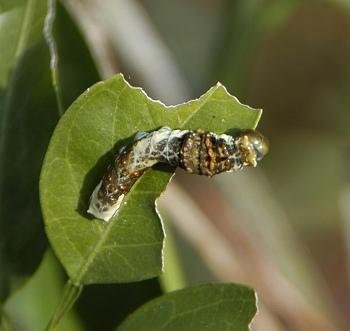 クロアゲハの3齢幼虫