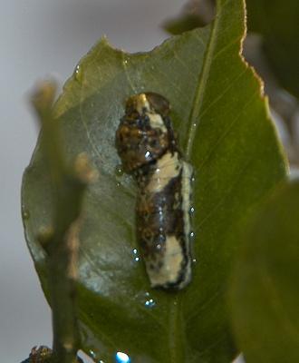 クロアゲハの3齢幼虫健在