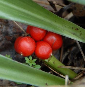 オモトの赤い果実