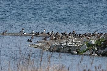 石田川河口の野鳥たち