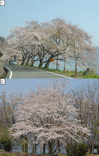 海津大崎方面のソメイヨシノ