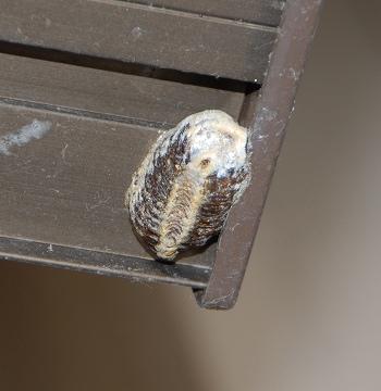 ハラビロカマキリの卵のう