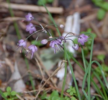 ヤマラッキョウの花