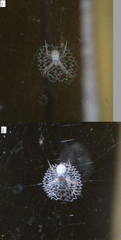 コガネグモの幼体