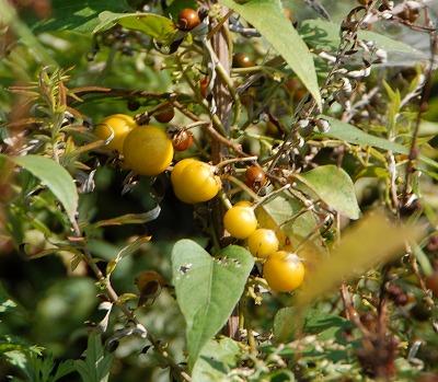 ワルナスビの果実