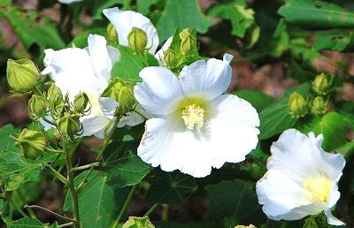 白いフヨウの花(新)
