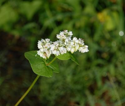 ソバの花(初)